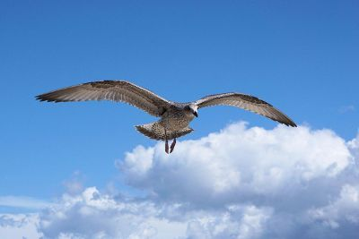 seagull in flight against sky