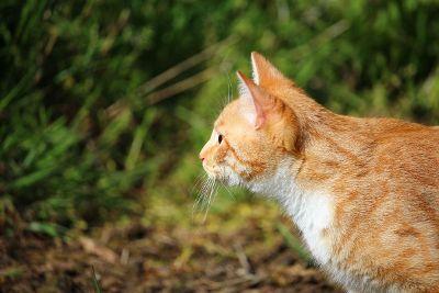 orange marmalade cat