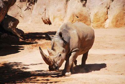 an african rhino