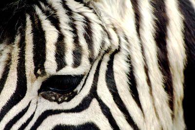 zebra looking down