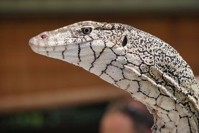reptiles head