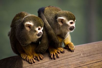 2 monkeys sitting together on a log