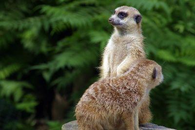 two meerkats standing