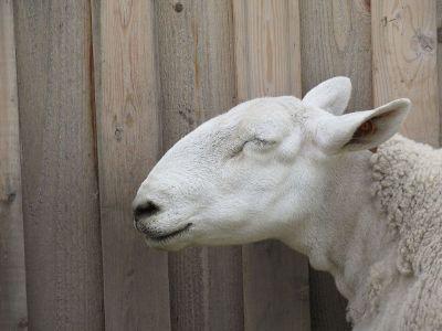 peaceful little lamb