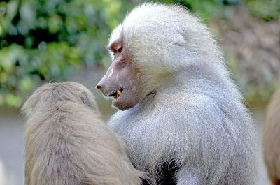 two white baboons