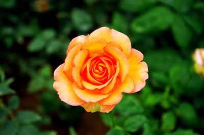 orange and yellow rose blossom