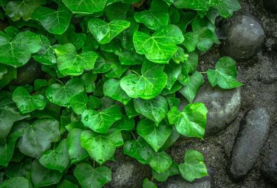 pachysandra growing across dirt