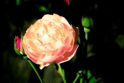 overexposed rose