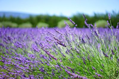 field of lavender colored flowers