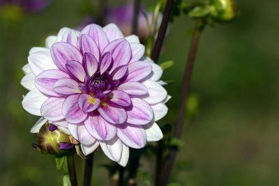 a beautiful dahlia with purple color