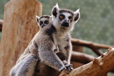 wild animals climbing on a tree