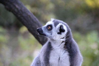 brown eyed marsupial