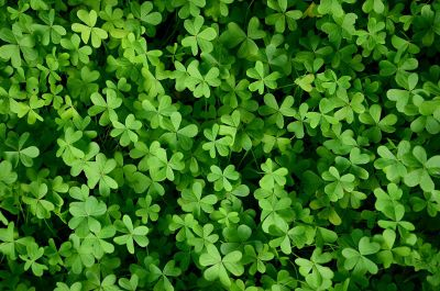 lots of clovers