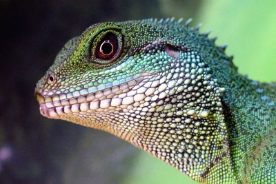 lizzard close up