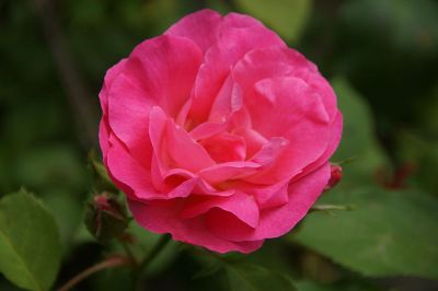 hot pink rose in bloom