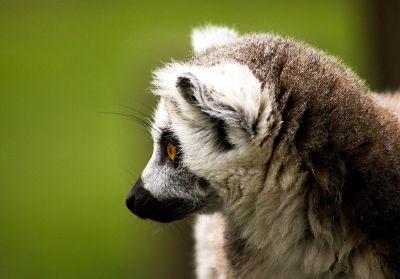 lemur on green background