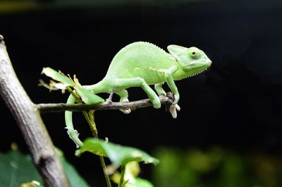 green colour chameleon