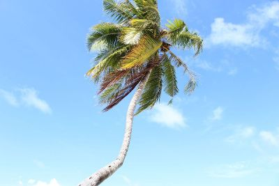 windy palm tree on beach