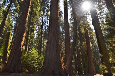 a redwood forest