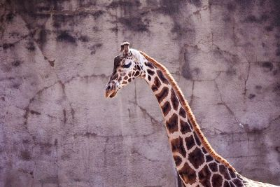 giraffe by wall