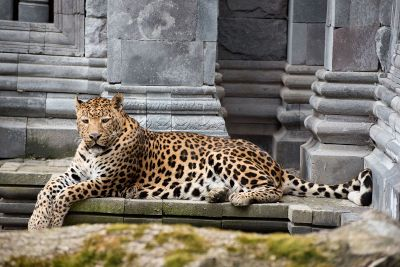 bored leopard sit on stone