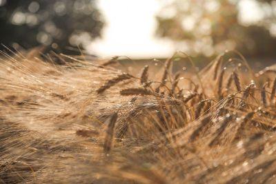 golden wheat in the sun