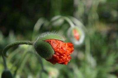 hairy flower with red petals