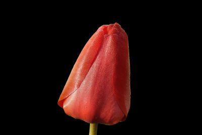 tulip tip