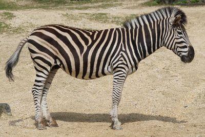 zebra in sand