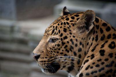 calm leopard