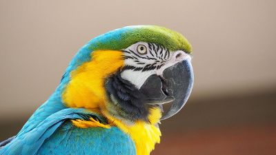 blue and green and gold parrot