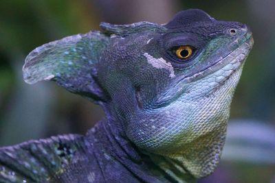 blue lizard portrait