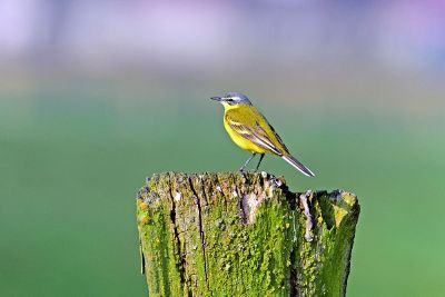 yellow bird on post