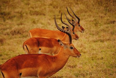 antelope standing in line