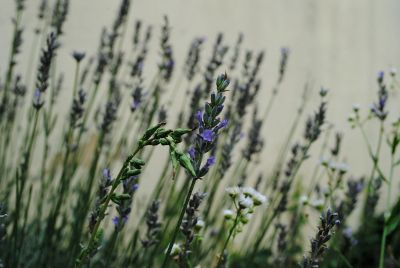 blue and white wild flowers