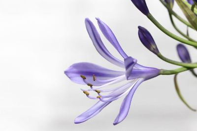 lavender pedals