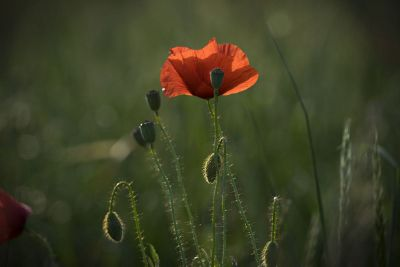 poppy flower in field