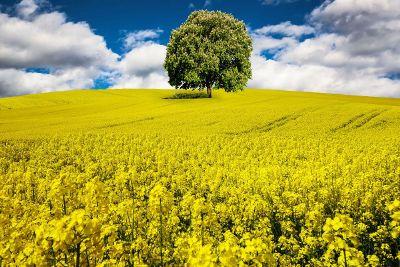 lone bushy tree in a field