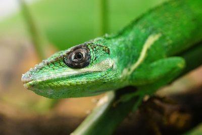 head of a bright green lizard