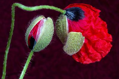 sprouting red flower