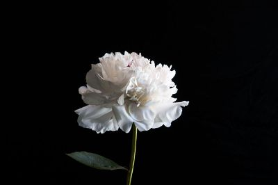white flower in a black background