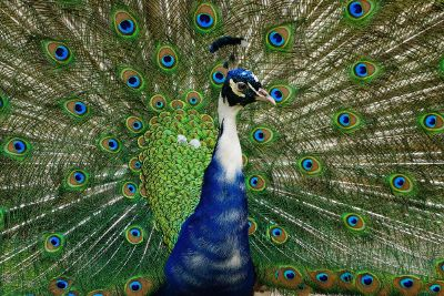 peacock with extended plumage