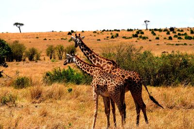 two giraffe in the field