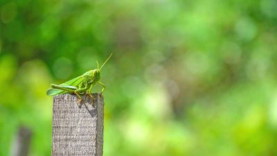 grasshopper on a wooden post
