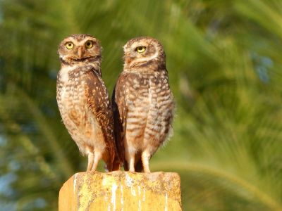 two brown owls perched together