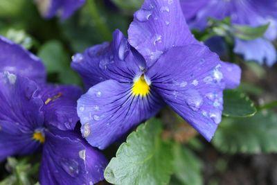 water droplets on blue violets