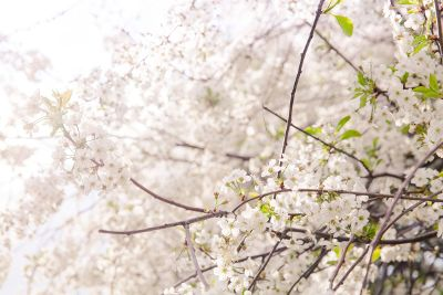 tree of white flowers