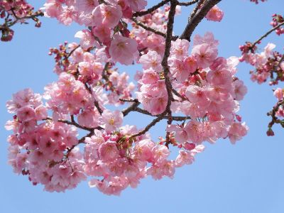pale pink blossoms bloom on branches
