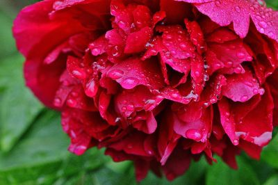 red flower covered in raindrops