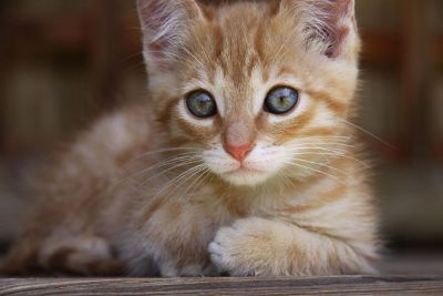 calico kitten